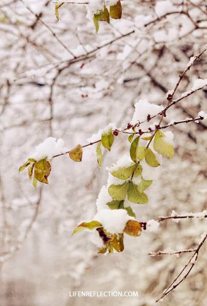 snowdrop cherries