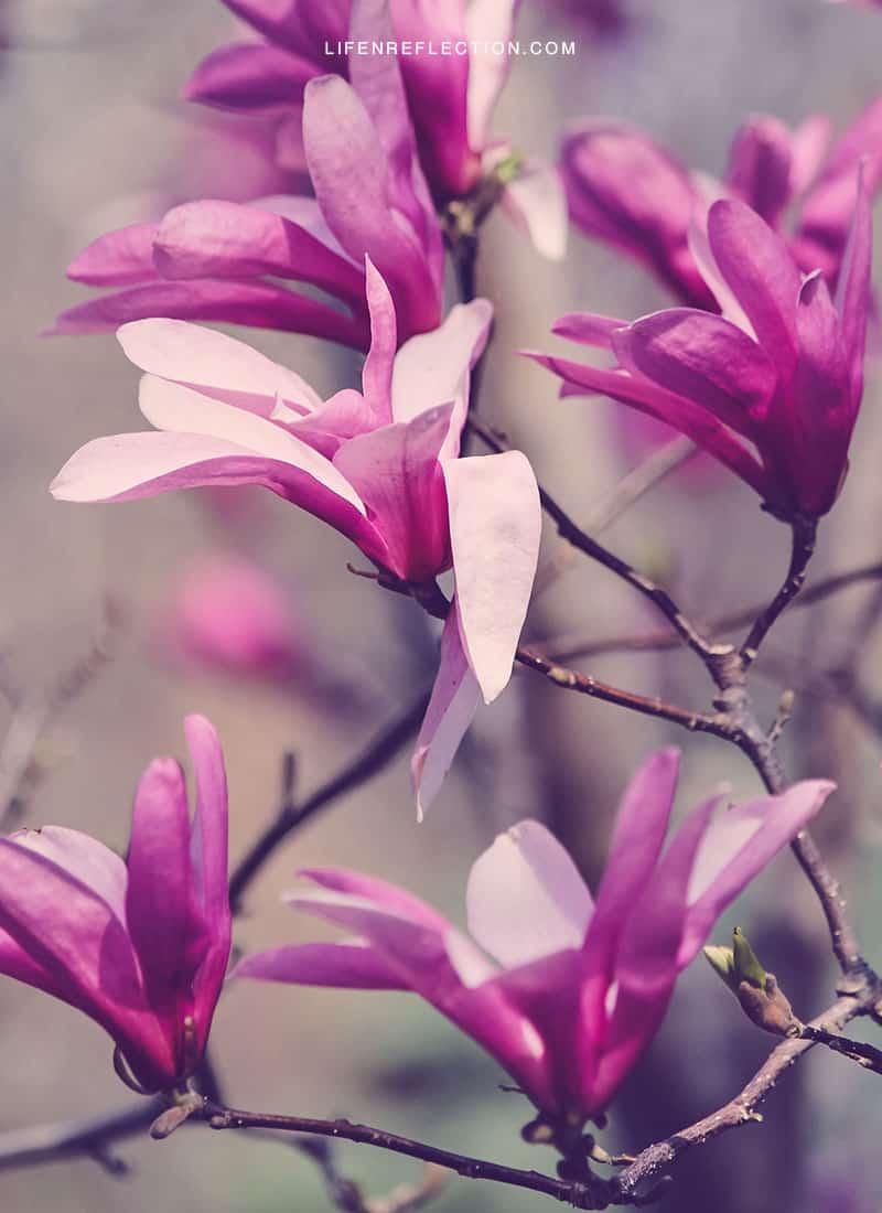 raspberry magnolias