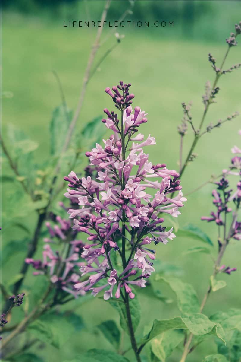 whispering lilacs
