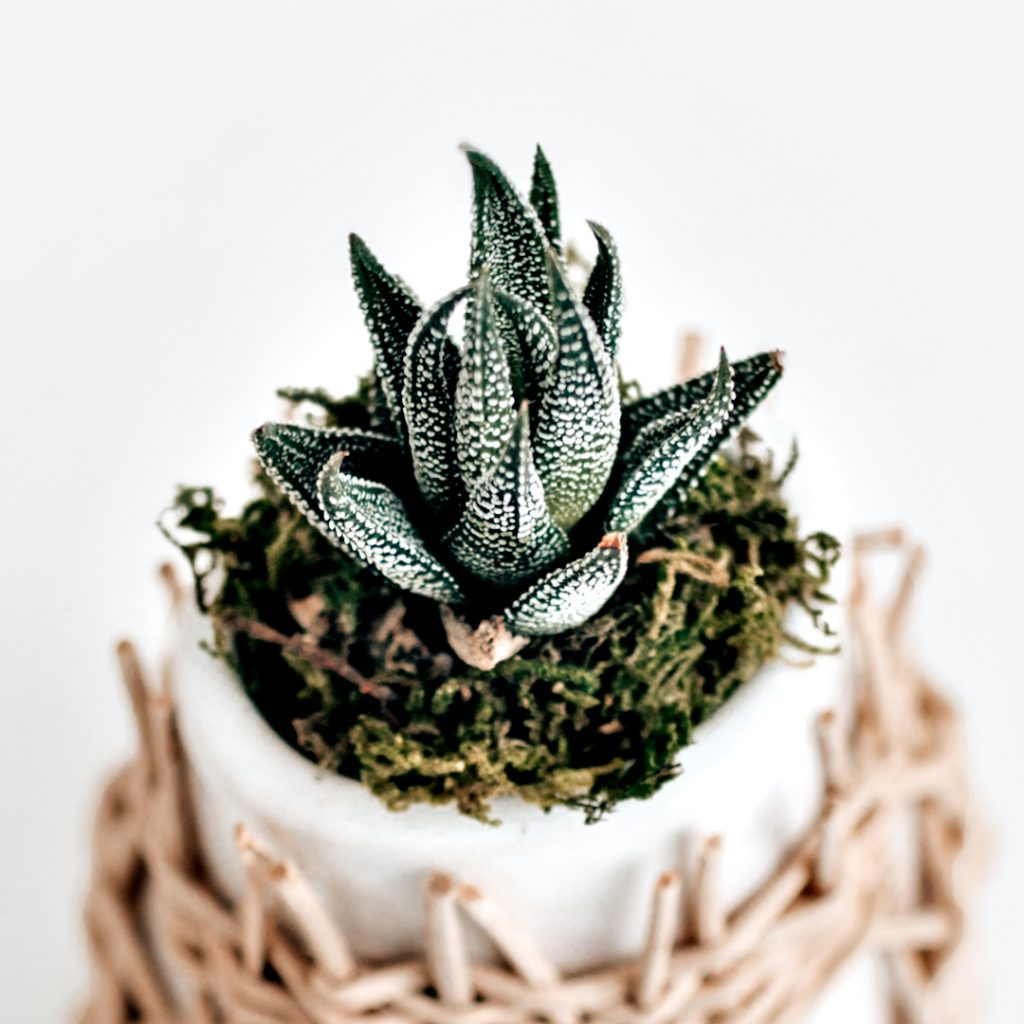 Loaded with over two hundred nutrients, aloe vera uses can extend to a multitude of hair and skin issues. Ultimately the advantages of this beauty plant cannot be ignored!